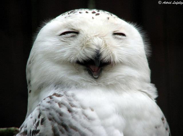 Búhos riendo