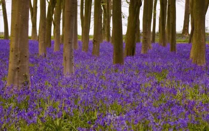 Imágenes de bosques repletos de hermosos jacintos