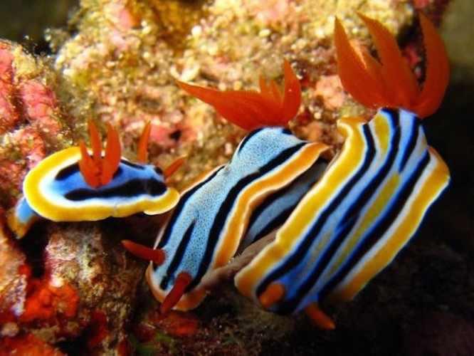 Babosas marinas