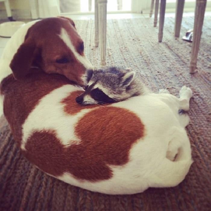 ¡Este Mapache Adoptado Piensa Que Es Un Perro!