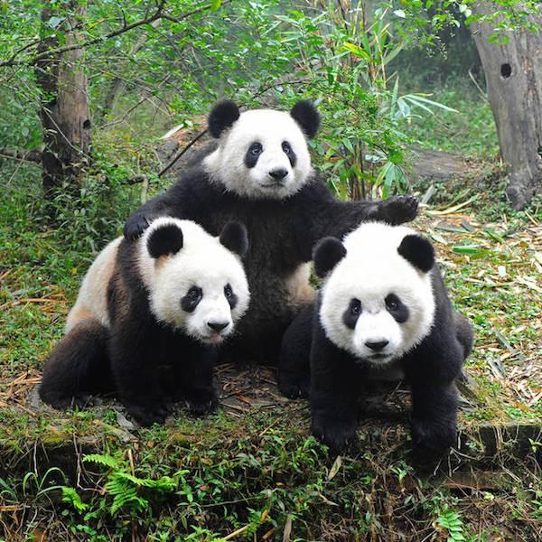 datos osos panda