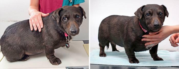 Íncreíble Antes y Después De Estas Mascotas Con Sobrepeso