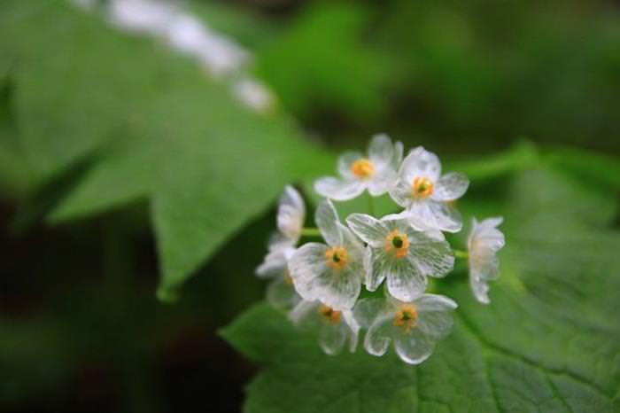 Flor transparente