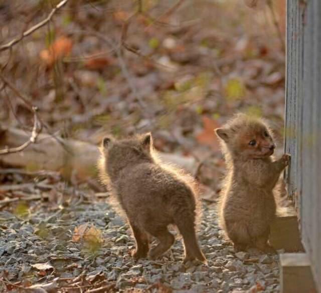 Cachorros de zorros