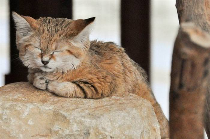 Gato de Desierto