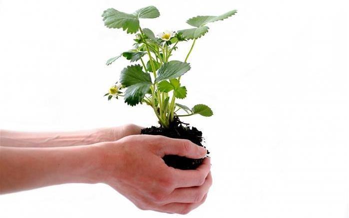 Errores al plantar