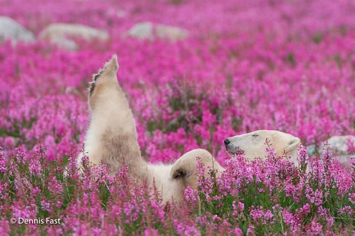 Osos Polares de Verano