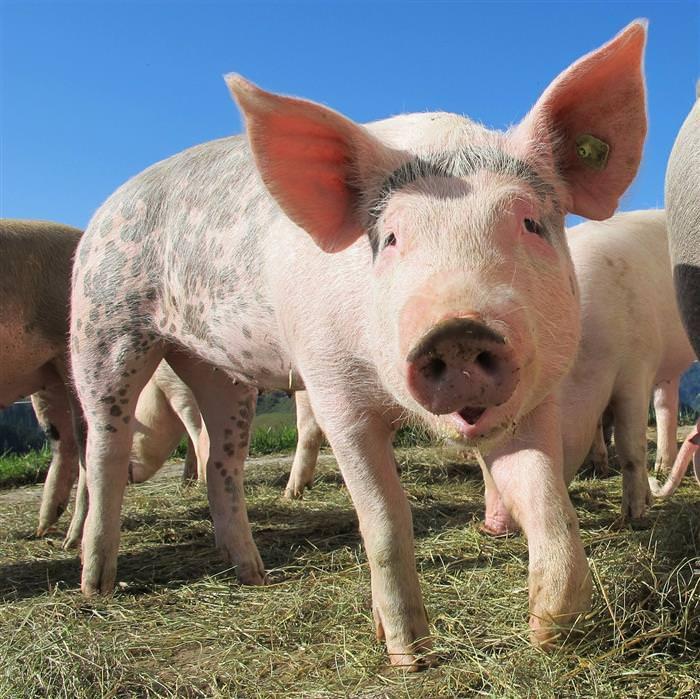 Chiste: El cerdo milagroso