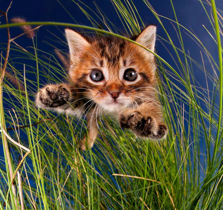 gatitos salando como tigres