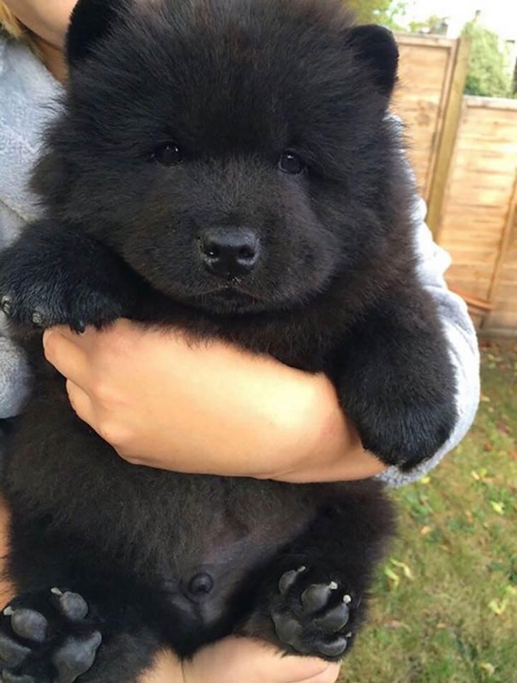 perritos que parecen ositos