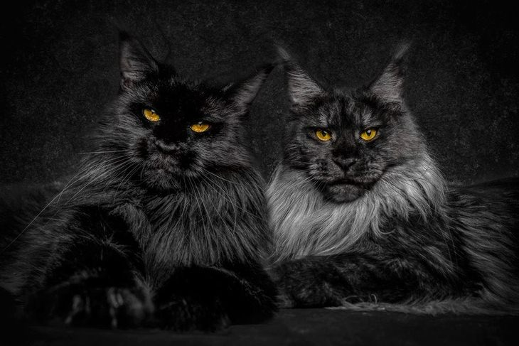 gatos maine coon