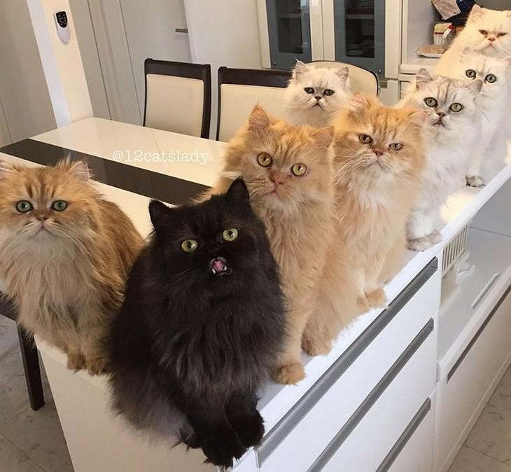 mujer japonesa y sus 12 gatos persas