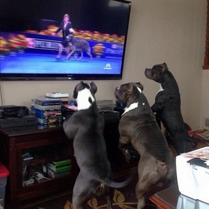 perros que parecen humanos