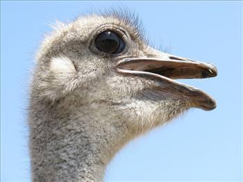 chiste el hombre y la avestruz