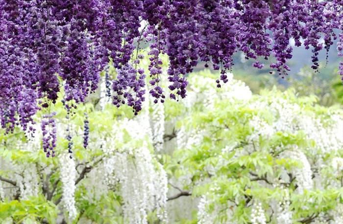 parque  floral Ashikaga Japón