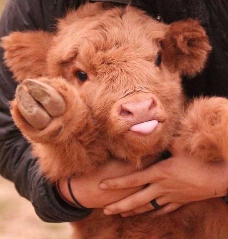 vacas adorables