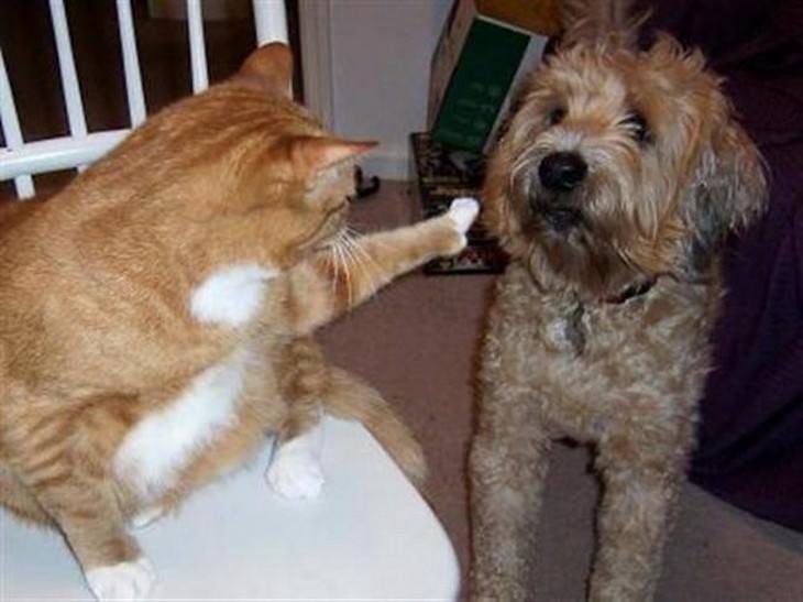 fotos dominancia de gatos sobre perros