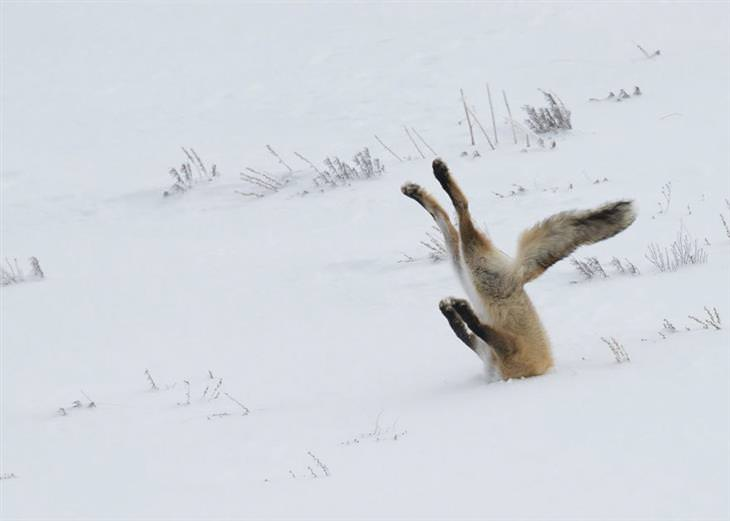 zorros en la nieve