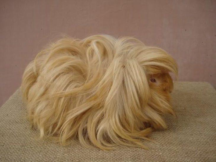 15 conejitos indias cabelleras
