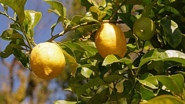 Limones Y Mandarinas En Casa