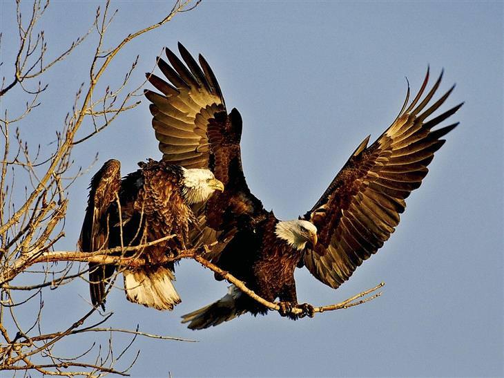 datos sobre las águilas