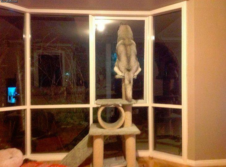 perros creen que son gatos