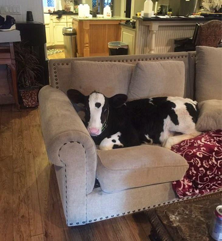 vacas y perros
