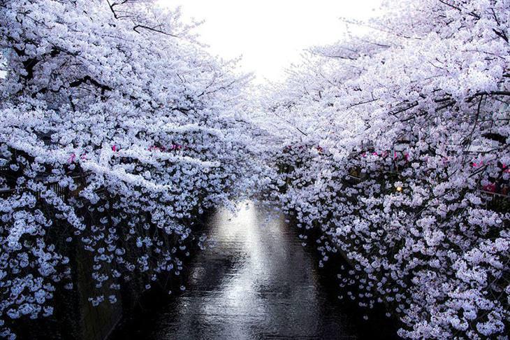 cerezos Japón