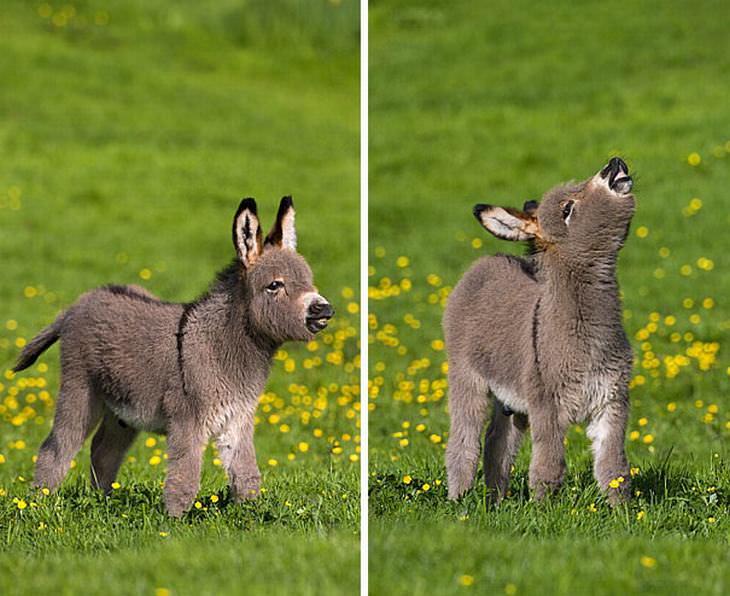crías de burro