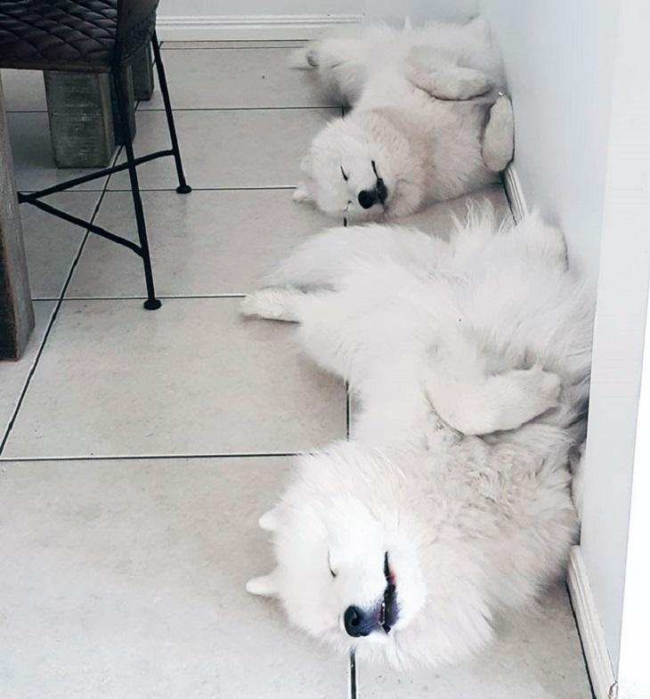 perros samoyedos