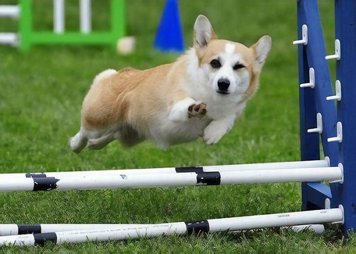 Corgi galés, perros, divertido, humor