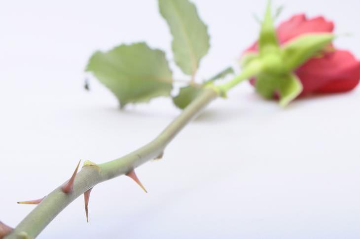 historia de la rosa