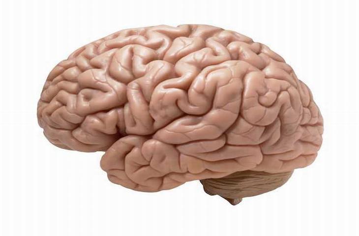 datos curiosos cerebro