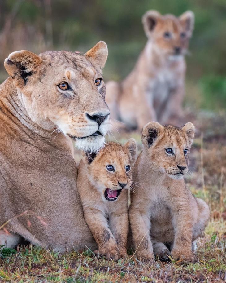 """2. """"¡AHHH!"""" por Yaron Schmid - Cachorros de león y su madre en Masai Mara, Kenia"""