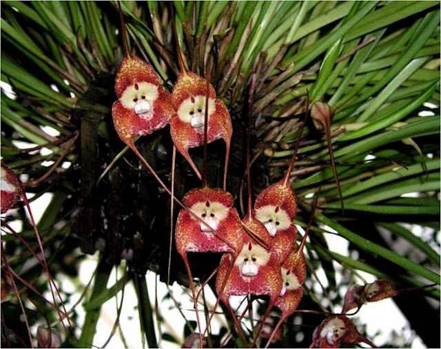 hermosas fotos de la orquídea cara de mono
