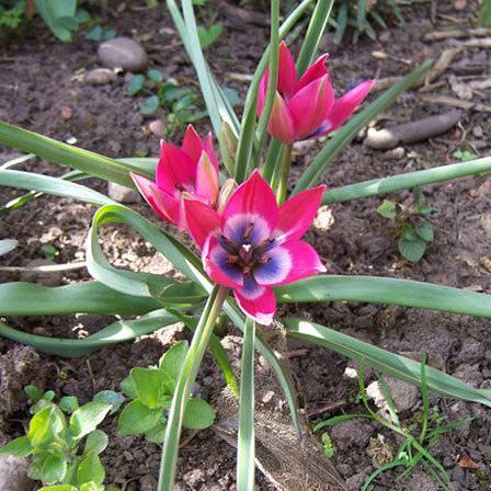 Tulipanes Del Mundo