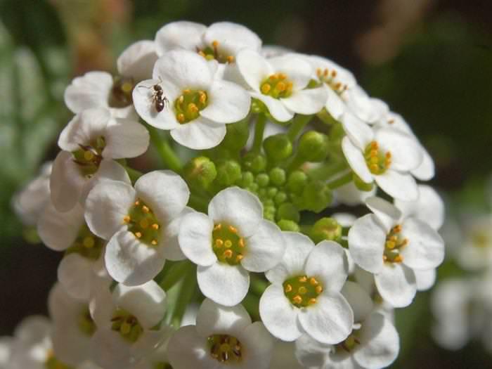 Flores aromáticas