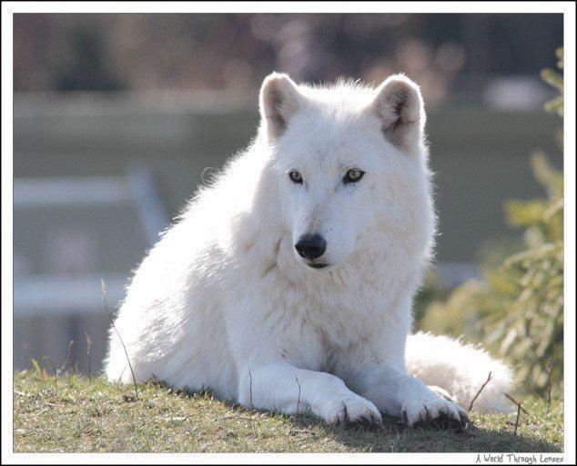 Animales Blancos