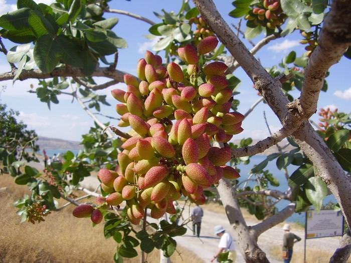 frutos madurar