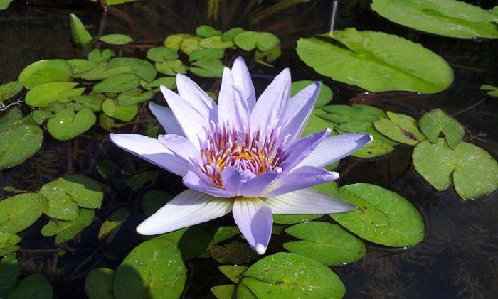 Pocas Flores Son Tan Místicas Como La Flor De Loto