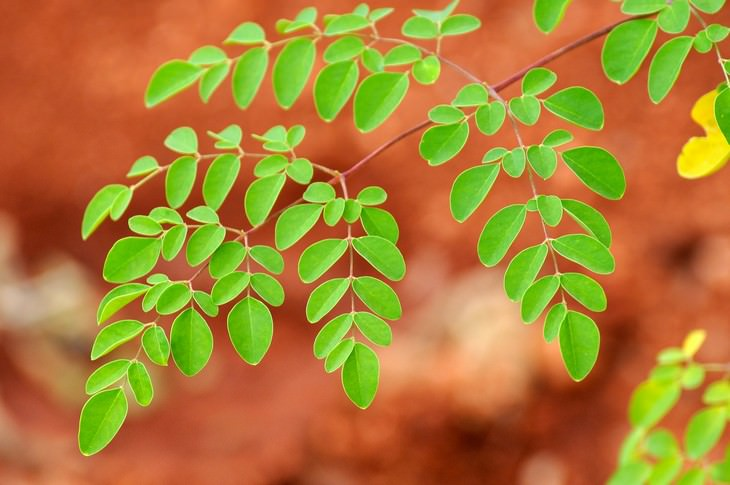 moringa, planta anti cancer