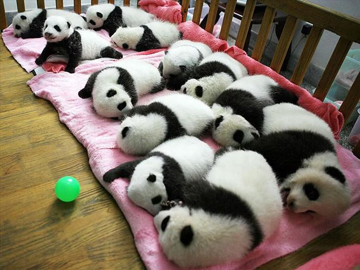 reserva osos panda Sichuan