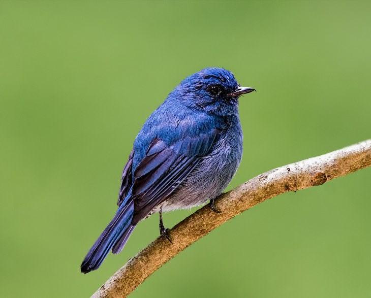pájaros india