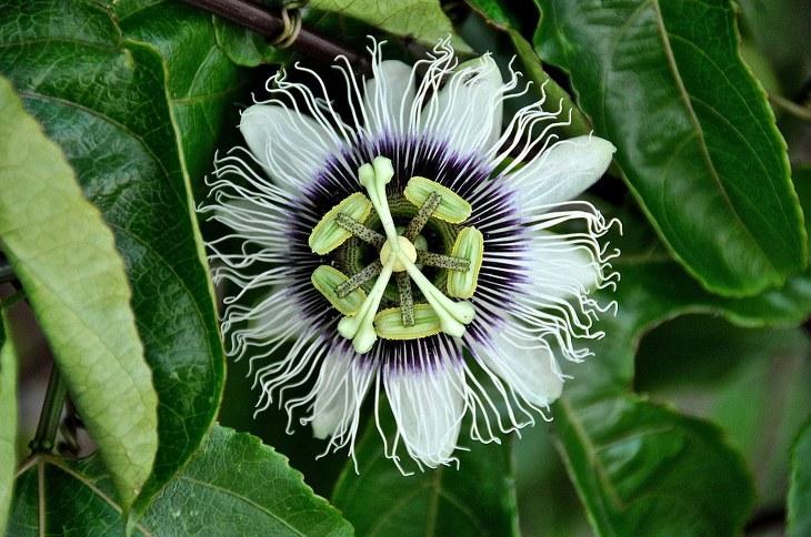 flor de la pasión beneficios