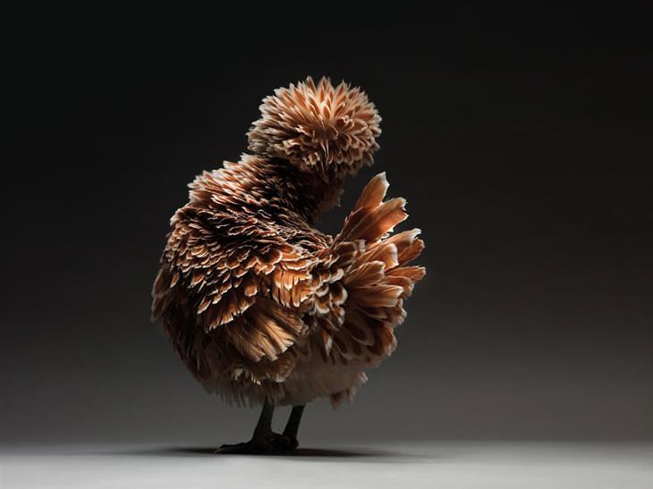 pollos fotogénicos