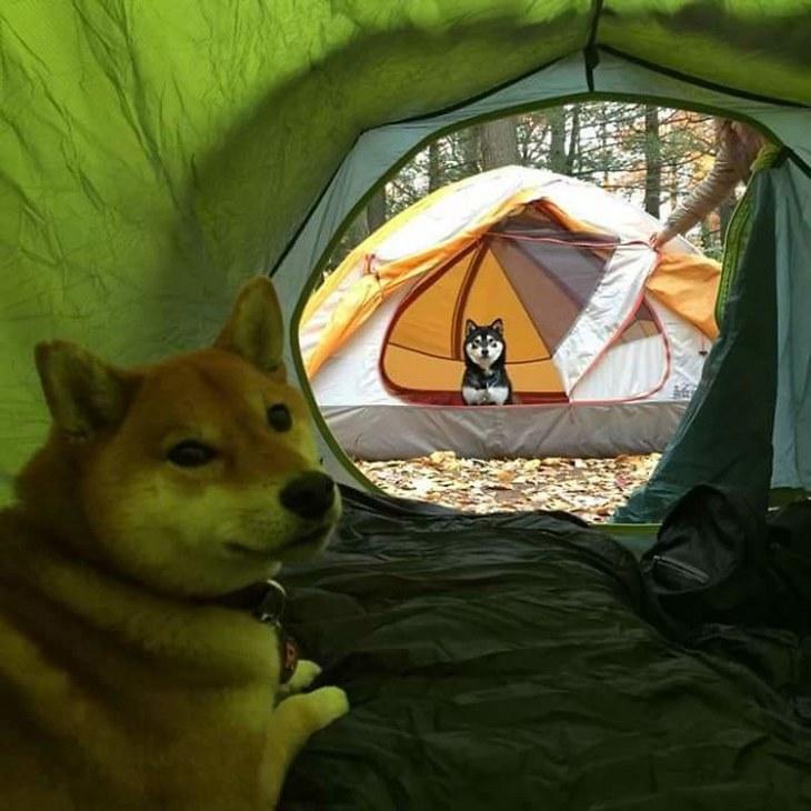 fotos perro Shiba Inu