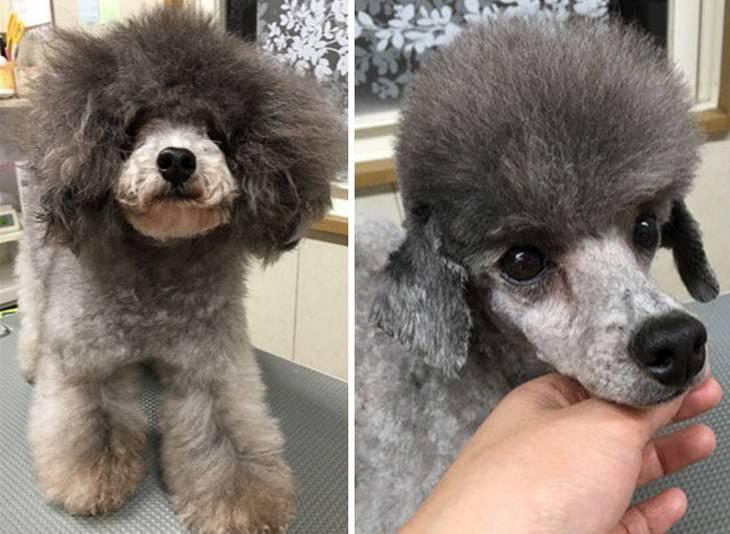 peluquero canino talento