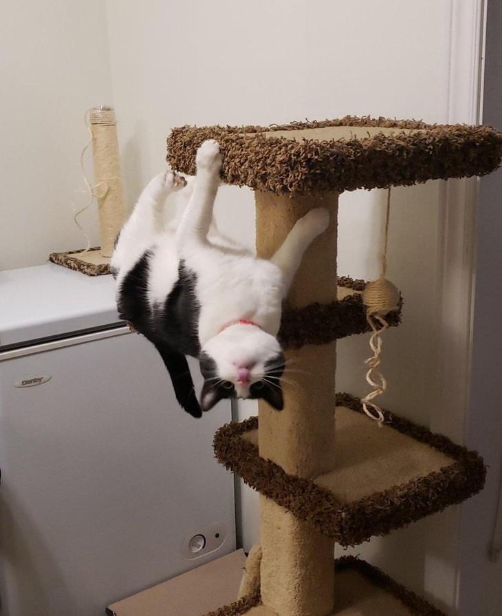 Los Gatos Rompen Las Leyes De La Física (Fotos Divertidas)