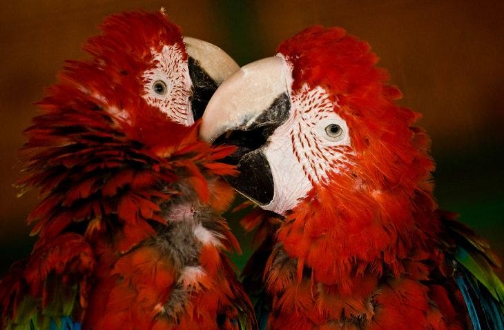 Imágenes Amor Animal Periquitos Rojos