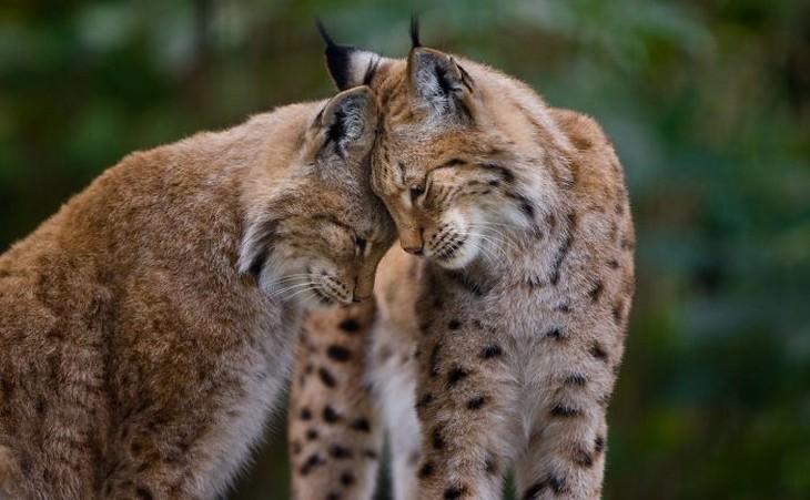 Imágenes Amor Animal Gatos Salvajes